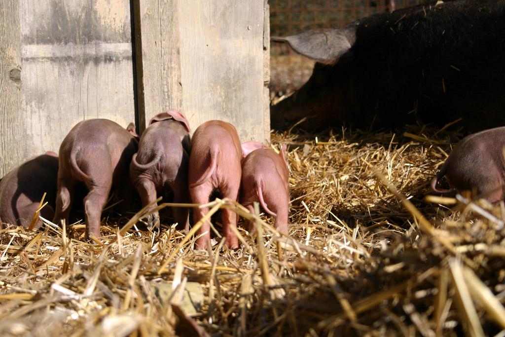 Ferkelaufzucht, wie es schöner nicht sein kann - auf Stroh, mit einer relaxten Muttersau und natürlich behalten unsere Ferkel auch ihre Ringelschwänze.